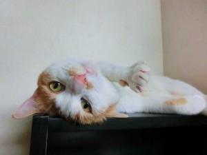ひっくりかえる猫