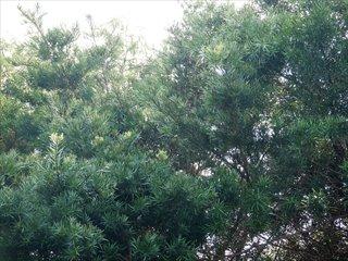 高枝切狭と高枝切鋸_伐採と枝打ち