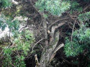 高枝切狭と高枝切鋸_伐採と枝打ち2